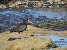 Sooty Oystercatcher On Rock Pl...