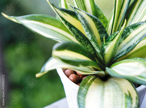 Fotografia Sansevieria or snake plant in pot