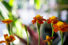 Tagetes Marigold The Plant Is Used In Companion Planting For Many Vegetable Crops. Its Root Secretions Are Believed To Kill Nematodes In The Soil And It Is Said To Repel Harmful Insects
