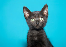 Portrait Of A Fluffy Black Kitten With Green Eyes Looking Towards Viewers Left. Teal Aqua Background With Copy Space.