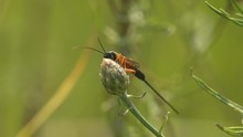 Ammophila Is Not A Parasitic W...