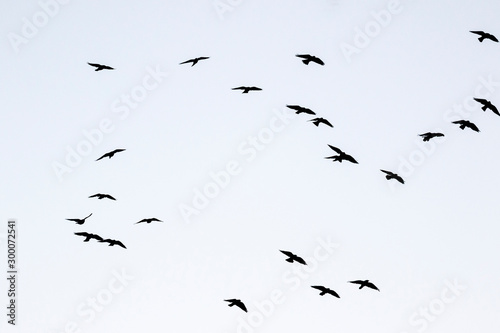 Silhouettes of jackdaws flying in the sky