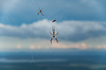 Golden Orb Weaver Spider Hanging In A Web
