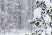 The Tree Has Covered With Heavy Snow In Winter Season At Lapland, Finland.