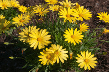 Sydney Australia, Flowering Bright Yellow African Daisy Bush