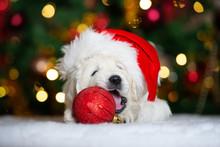 Adorable Golden Retriever Puppy In A Santa Hat