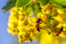 Honey Bee Pollinates Yellow Flowers Barberry In The Garden On Background Of Blue Sky. Nature In Spring.