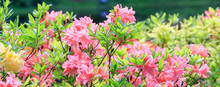 Pink Coral Japanese Rhododendr...