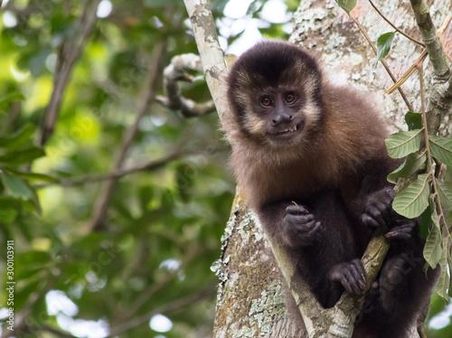 Fototapeta  Macaco-prego na árvore sorrindo