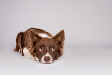 Red And White Border Collie Do...