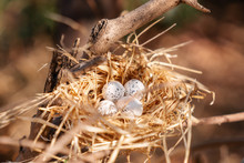 Bird Nest With Eggs On A Tree, In The Beautiful Nature