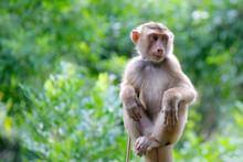 Portrait Of Macaque Monkey