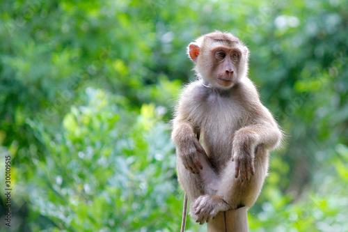 Spoed Fotobehang Aap Portrait of macaque monkey
