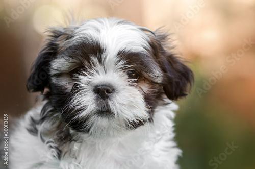 Obraz little cute puppy shih tzu lovely dog portrait - fototapety do salonu