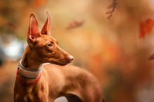 Cirneco Dell Etna Dog Beautifu...