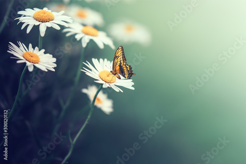 Fotografie, Obraz  Beautiful butterfly on a daisy flower consuming their nectar