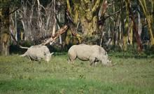 Two White Rhinos Grazing Along Treeline, Nakuru, Kenya