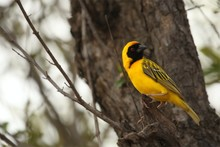The Southern Masked Weaver Or African Masked Weaver (Ploceus Velatus) Sitting In The Grass.Southern Masked Weaver In Morning Sun After Rain.