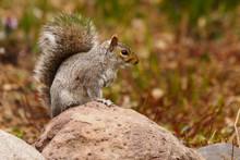 Eastern Gray Squirrel, Sciurus...