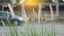 White Grass Blossoms With A Blurred Black Car Background