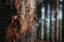 Bark Beetle Tree In A Spruce F...