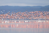 Flock of pink flamingos from Lake Manyara, Tanzania
