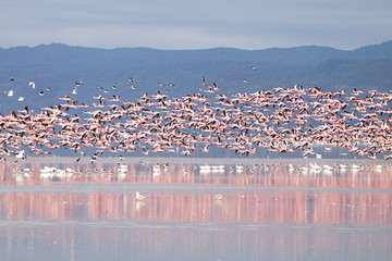 Fototapeta Do jadalni Flock of pink flamingos from Lake Manyara, Tanzania
