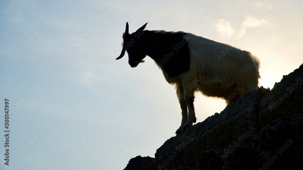 black and brown goats on stones