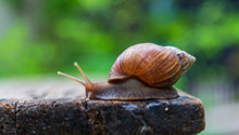 Snail Is Walking On The Old Wo...