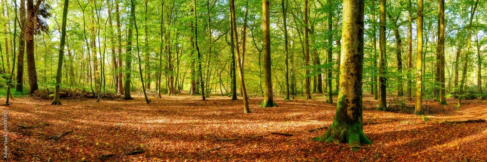 Fototapety, obrazy: Panorama of a bright forest with big trees, a lot of autumn leaves on the forest floor and sunlight in the background
