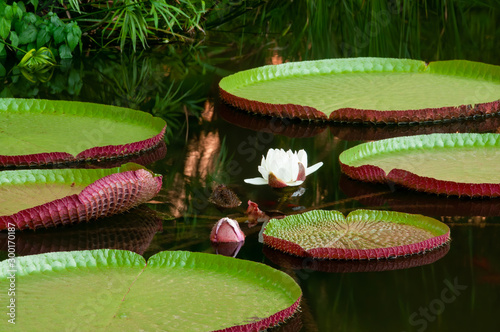 Valokuvatapetti Giant Amazon Water Lily