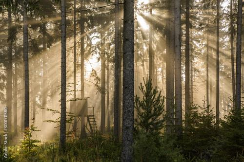 Fotografía Gegenlicht im Fichtenwald bei Nebel mit sonnenstrahlen und Jagdkanzel