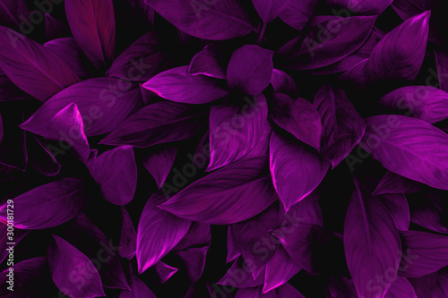 closeup nature view of colorful leaf in garden, dark wallpaper concept, nature background, tropical leaf #300181729