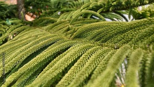 Foto auf AluDibond Pistazie close up green House Pine (Norfolk Island Pine)