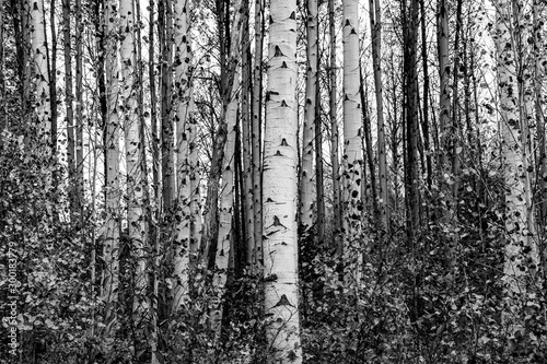 Grove of aspen trees in black and white - 300183779