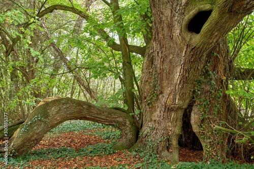 A very old large-leaved lime tree (Tilia platyphyllos) Slika na platnu