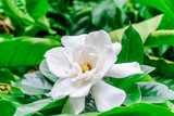 Gardenia flower (Gardenia Jasminoides or Cape Jasmine) Blooming in green garden on branch tree background.