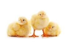 Three Little Chickens.