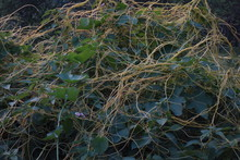 Cuscuta , A Parasitic Plant Also Known As Devil's Witch's Angel Hair Or Goldthread Strangleweed Growing On Shrubs At An Indian Forest Garden.