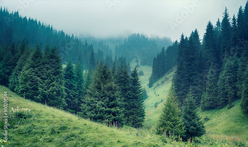 Fog in the spruce forest in the mountains.