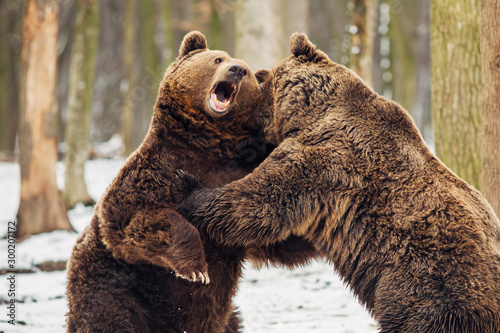Brown bear fight in the forest - 300207172