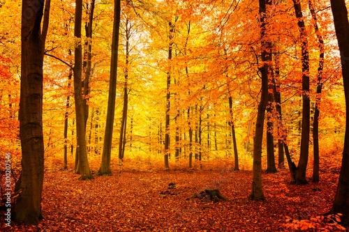 Valokuvatapetti Gelbrot verfärbter Buchenwald im Herbst mit sehr hohen Bäumen