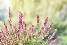 Heather Flowers. Bright Natural Colorful Background.