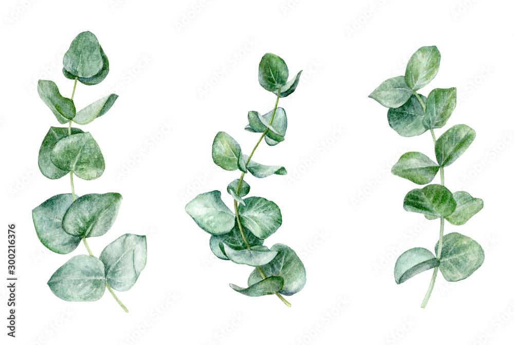Fototapeta Eucaliptos leaf set watercolor isolated on white background