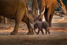 African Bush Elephant - Loxodo...