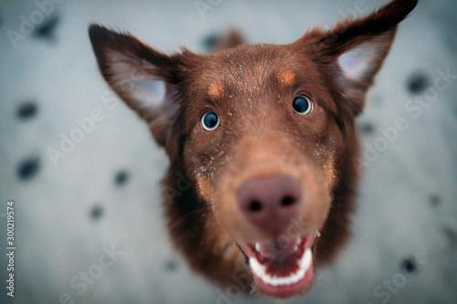 Fotografie, Obraz  Hund schaut lustig in die Kamera