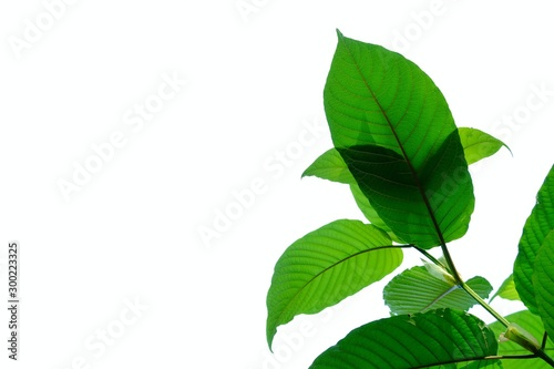 A branch of Kratom leaves with sunlight on white isolated background for green f Canvas Print