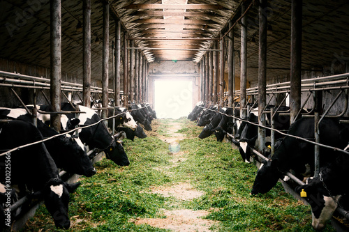 Obraz Black and white cows in a farm cowshed eating green grass - fototapety do salonu
