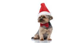 Yorkshire Terrier Dog Wearing ...
