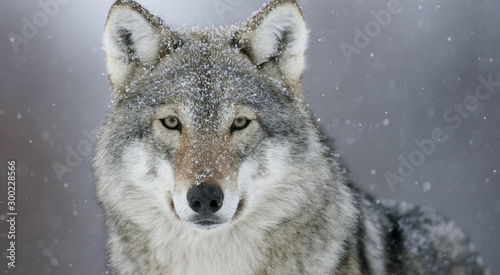 Recess Fitting Wolf Portrait of a beautiful wolf looking at you